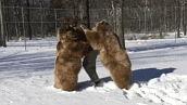 멀리서부터 환영 인사를<br>인간 친구를 만난 곰 두 마리
